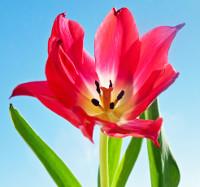 tulip_200